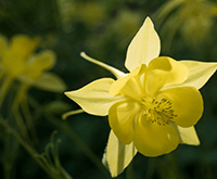 Drought-Tolerant Plants: Texas Columbine