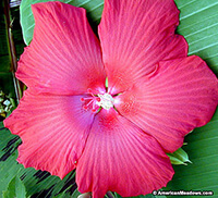 Lord Baltimore Hibiscus